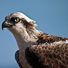"""фото """"Osprey"""""""