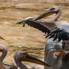 "photo ""Chief orator pelican"""