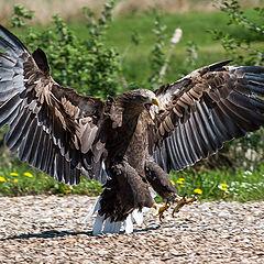 """photo """"White Tailed Sea Eagle"""""""