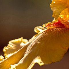 "photo ""Orange Iris Petal"""