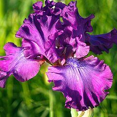 "photo ""Iris #323"""