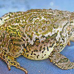 "photo ""Texas Toad"""