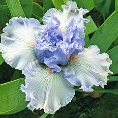 """photo """"Mutant Iris"""""""