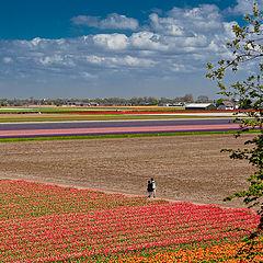"фото ""Keunkenhof. Tulip-field."""
