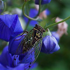"фото ""Реликтовая цикада на ширококолокольчике"""