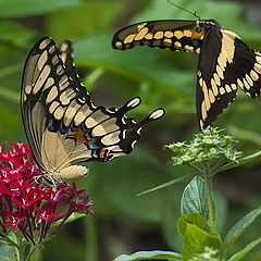 "photo ""Tiger Swallowtail Butterfly Courtship"""