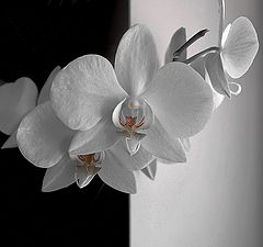 """фото """"Орхидея. (ч/б? )"""""""