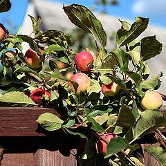 """фото """"Чужие яблочки."""""""