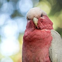 """фото """"Розовый какаду, Австралия"""""""