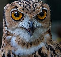 "фото ""The owl"""