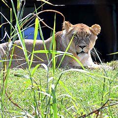 "photo ""Mama Lion"""