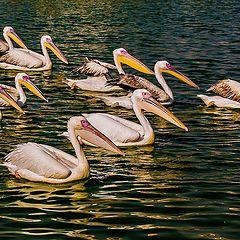 "фото ""Squade of Pelicans"""