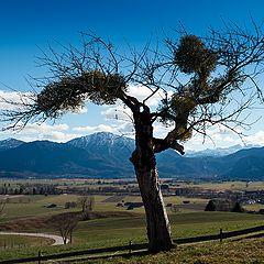 "фото ""Mountain tree"""