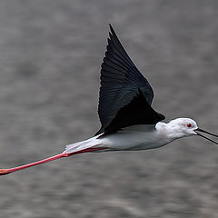 "фото ""Black-Winged Stilt"""