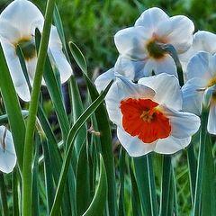 "photo ""daffodils"""