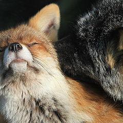 "photo ""Fox in love"""