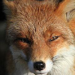 "photo ""Foxface"""