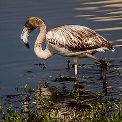 """photo """"Flamingo"""""""