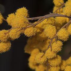 """photo """"mimosa"""""""