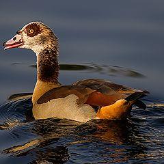 "photo ""Duck"""
