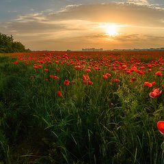 "photo ""Morning poppies,freedom"""