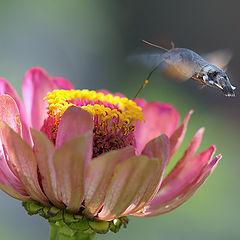 """фото """"Колибри мира насекомых (Языкан)"""""""