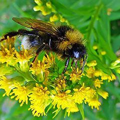 """фото """"Пчела"""""""