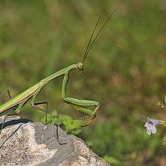 "photo ""Mantis"""