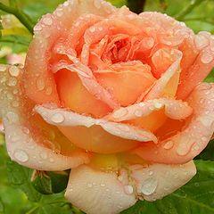 """фото """"Свежесть розы"""""""
