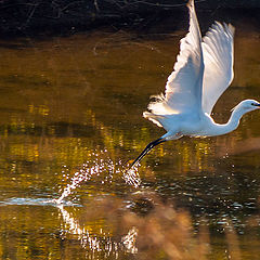 "photo ""White Heron take off"""