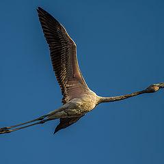 "фото ""Flamingo in flight"""