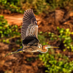 "фото ""Heron in flight"""
