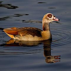 """photo """"Goose"""""""