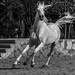 "photo ""Arabian Vigour"""