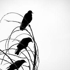 "photo ""Три Вороны"""
