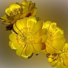 """фото """"Весеннее золото"""""""