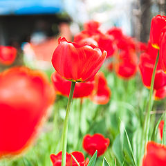 "photo ""tulips"""