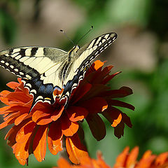"photo ""Papilio machaon"""