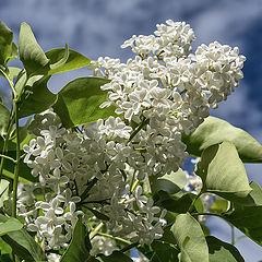 "photo ""White Lilac"""