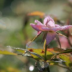 """фото """"Роняя слезинки, отцветала роза.."""""""