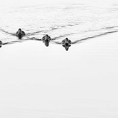 "photo ""duck flotilla"""