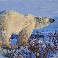 """фото """"Polar bear"""""""