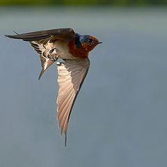 """фото """"Swallow"""""""