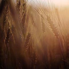 """фото """"Wheat field."""""""