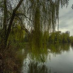 """фото """"Ивушка зелёная, над рекой склонённая..."""""""
