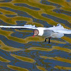 "photo ""Volga seagull"""