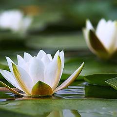"""фото """"На пруду так тихо и красиво..цветут кувшинки"""""""