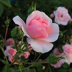 """фото """"Роза"""""""