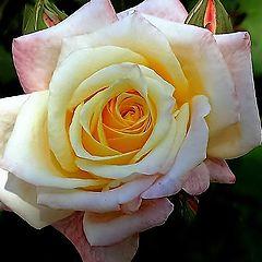 """фото """"Rose..."""""""