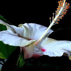 """фото """"White Hibiscus..."""""""